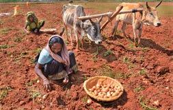 土豆耕种 库存照片