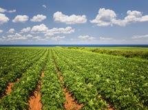 土豆领域在爱德华王子岛 库存照片