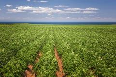 土豆领域在爱德华王子岛 免版税图库摄影