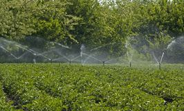 土豆领域灌溉与洒水装置 免版税库存图片