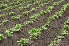 土豆领域 免版税库存照片