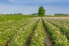 土豆领域 库存图片