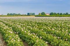 土豆领域 免版税库存图片