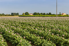 土豆领域 库存照片
