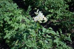 土豆,有白花的开花迅速成熟的品种在一个大领域 免版税图库摄影