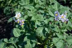 土豆,有紫色花的开花迅速成熟的品种在一个大领域 库存照片