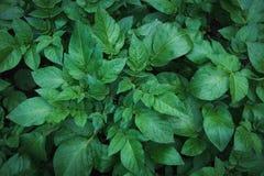 土豆绿色叶子与雨珠的 顶视图 背景蓝色云彩调遣草绿色本质天空空白小束 免版税库存照片