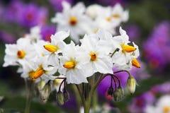 土豆Solanum Tuberosum花  图库摄影