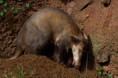 土豚开掘 免版税库存照片