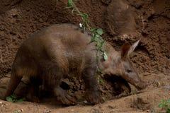 土豚走 图库摄影