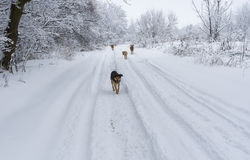 土路和搜寻一些食物的流浪狗的饥饿的帮会 免版税库存图片