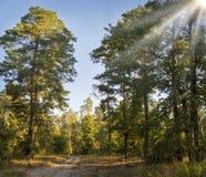 土路在杉木森林里 免版税库存照片
