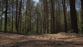土路在照相机飞行在土路撒布与杉木针在杉木森林4K里的杉木森林里 股票录像