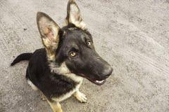 土路的注意德国牧羊犬 库存图片