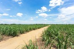 土路进入农场在甘蔗农场,糖领域之间,与清楚的蓝天 免版税库存图片
