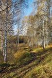 土道路在秋天桦树森林里 库存照片