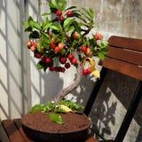 从黏土,手工制造盆景的樱桃树 免版税库存图片