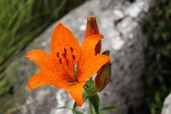 圣乔瓦尼百合属植物bulbiferum野生百合  免版税库存图片