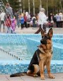 从圣乔治的丝带的德国牧羊犬 免版税库存照片