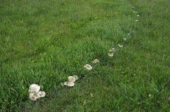 圣乔治的蘑菇圆环 免版税库存照片