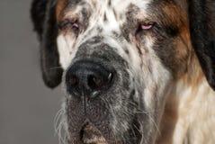 圣人伯纳德狗 免版税库存照片
