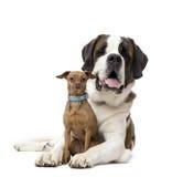 圣伯纳德和微型短毛猎犬凝视 免版税库存图片