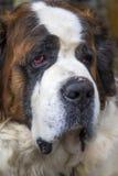 圣伯纳德狗 库存照片