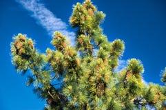 圣何塞在登上哈密尔顿的杉树 免版税库存照片