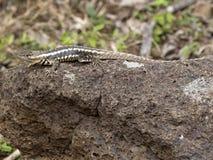 圣克里斯托瓦尔熔岩蜥蜴, Microlophus bivittatus,是激昂在石头,圣克里斯托瓦尔,加拉帕戈斯,厄瓜多尔 免版税库存图片