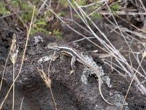 圣克里斯托瓦尔熔岩蜥蜴, Microlophus bivittatus,是激昂在石头,圣克里斯托瓦尔,加拉帕戈斯,厄瓜多尔 库存图片