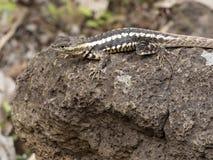 圣克里斯托瓦尔熔岩蜥蜴, Microlophus bivittatus,是激昂在石头,圣克里斯托瓦尔,加拉帕戈斯,厄瓜多尔 免版税库存照片