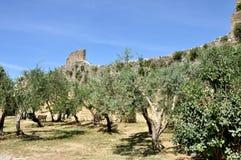 圣吉米尼亚诺橄榄树和墙壁 库存图片
