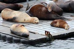 圣地亚哥海狮 免版税库存照片