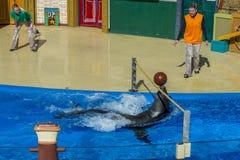 圣地亚哥,美国- 2015年11月, 15 -在海世界的海狮展示 库存图片