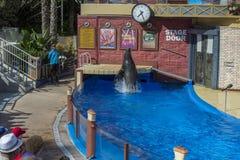 圣地亚哥,美国- 2015年11月, 15 -在海世界的海狮展示 免版税库存图片