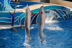 圣地亚哥,美国- 2015年11月, 15 -在海世界的海豚展示 免版税库存图片
