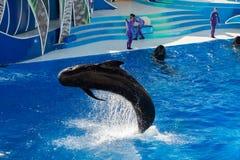 圣地亚哥,美国- 2015年11月, 15 -在海世界的海豚展示 库存图片