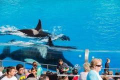 圣地亚哥,美国- 2015年11月, 15 -在海世界的虎鲸展示 图库摄影