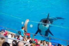 圣地亚哥,美国- 2015年11月, 15 -在海世界的虎鲸展示 免版税图库摄影