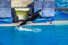圣地亚哥,美国- 2015年11月, 15 -在海世界的虎鲸展示 免版税库存照片