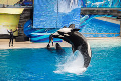 圣地亚哥,美国- 2015年11月, 15 -在海世界的虎鲸展示 库存照片
