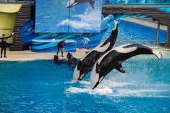 圣地亚哥,美国- 2015年11月, 15 -在海世界的虎鲸展示 免版税库存图片