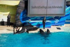 圣地亚哥,美国- 2015年11月, 15 -在海世界的虎鲸展示 库存图片