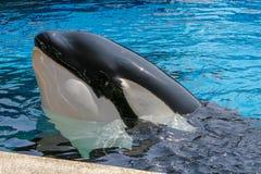圣地亚哥, CA/USA 2007年6月25日 虎鲸展示在海Worl 免版税库存照片