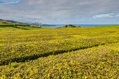 圣地米格尔, A海岛的北海岸的茶园  库存照片