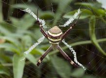 圣安德鲁的交叉蜘蛛 免版税库存图片