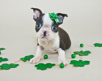 圣帕特里克的天小狗 免版税库存图片