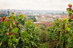 圣徒瓦茨拉夫葡萄园布拉格 图库摄影