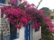 圣托里尼开花浪漫海岛希腊 免版税库存照片