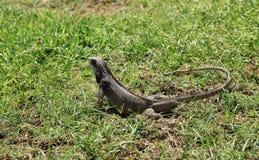 圣托马斯绿色鬣鳞蜥  免版税库存照片